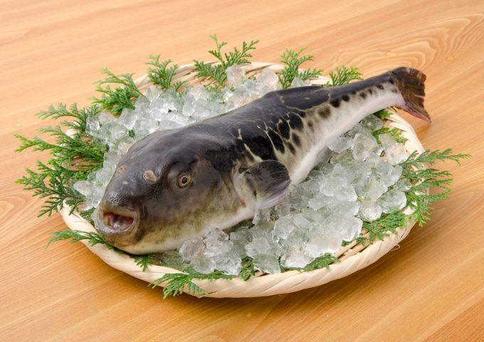 Japanese pufferfish (tora fugu)