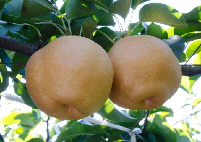 梨の「豊里(ほうり)」
