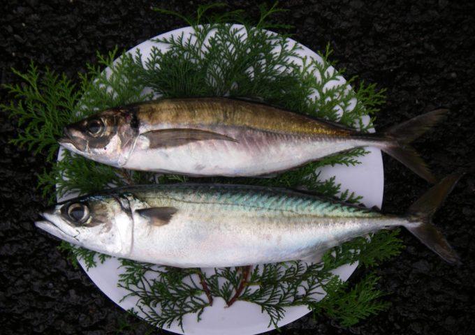 Seki mackerel (sekiaji, sekisaba)