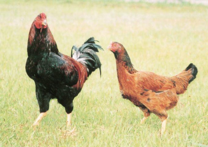 冠地どり と 烏骨鶏 と 豊のしゃも