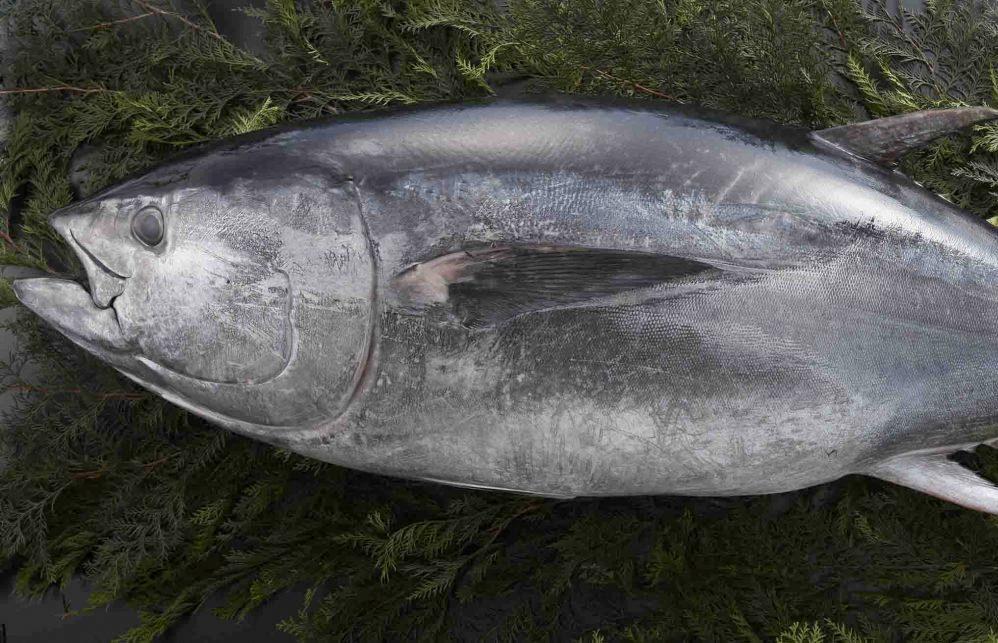 養殖藍鰭金槍魚